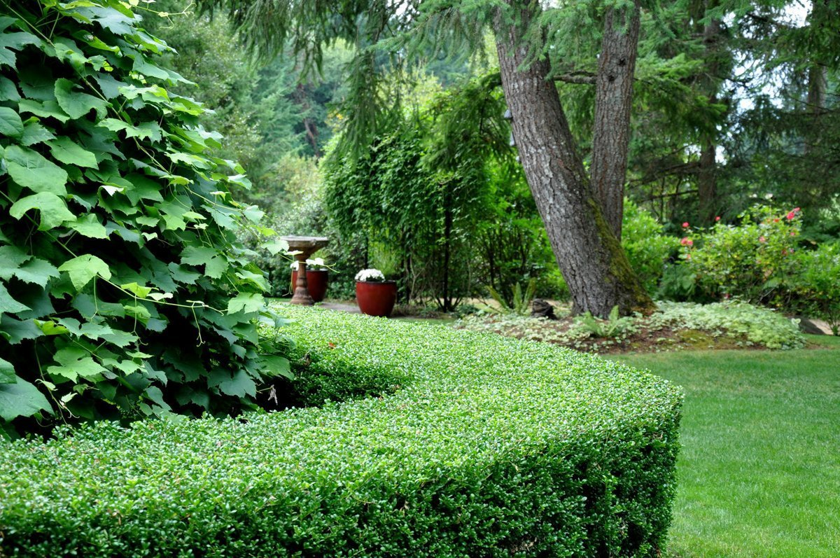 Ilex Schilling Stokes Dwarf Yaupon Holly Vomitoria Qty 72 Fully Rooted Live Plants Evergreen Hedge by Florida Foliage (Image #3)