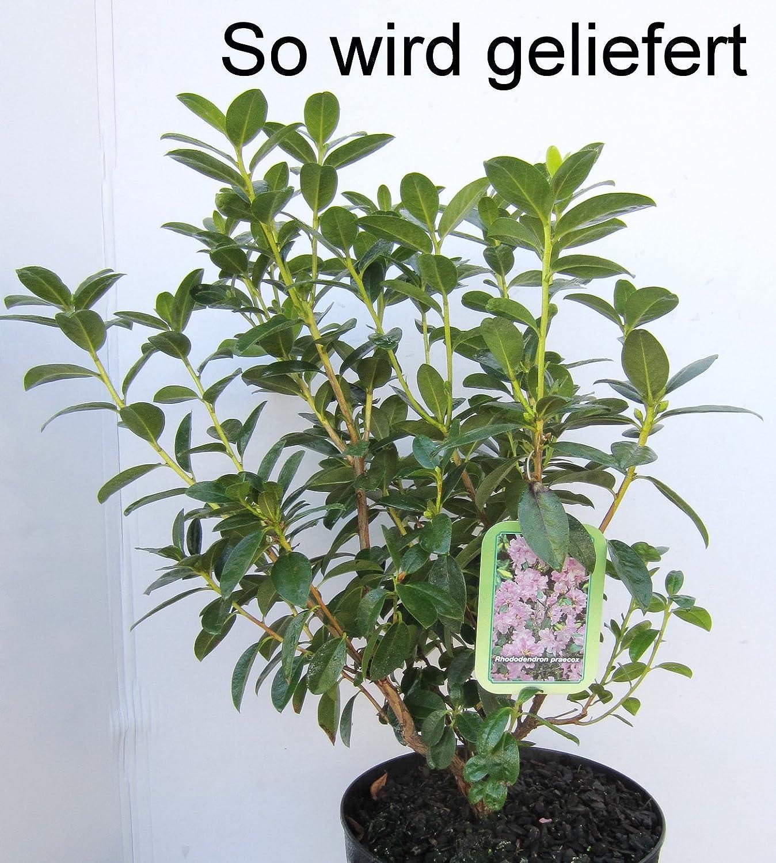 1 Strauch im 3 Liter Topf zu dem Artikel bekommen Sie gratis ein Paar Handschuhe f/ür die Gartenarbeit dazu Vorfr/ühlingsalpenrose violett-blau bl/ühend