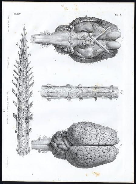 Amazon Antique Anatomy Print Nervous System Horse Brain Spine