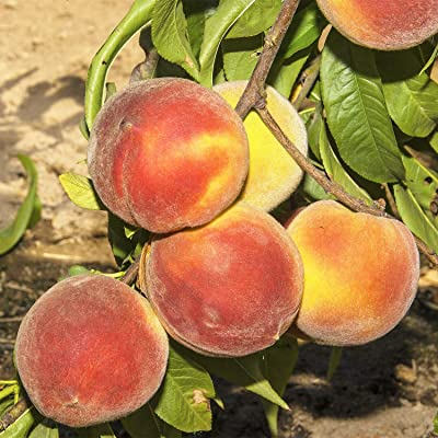 Crimson Rocket Peach (Prunus) Tree, Live Bareroot Standard Fruit Tree (1-Pack) : Garden & Outdoor