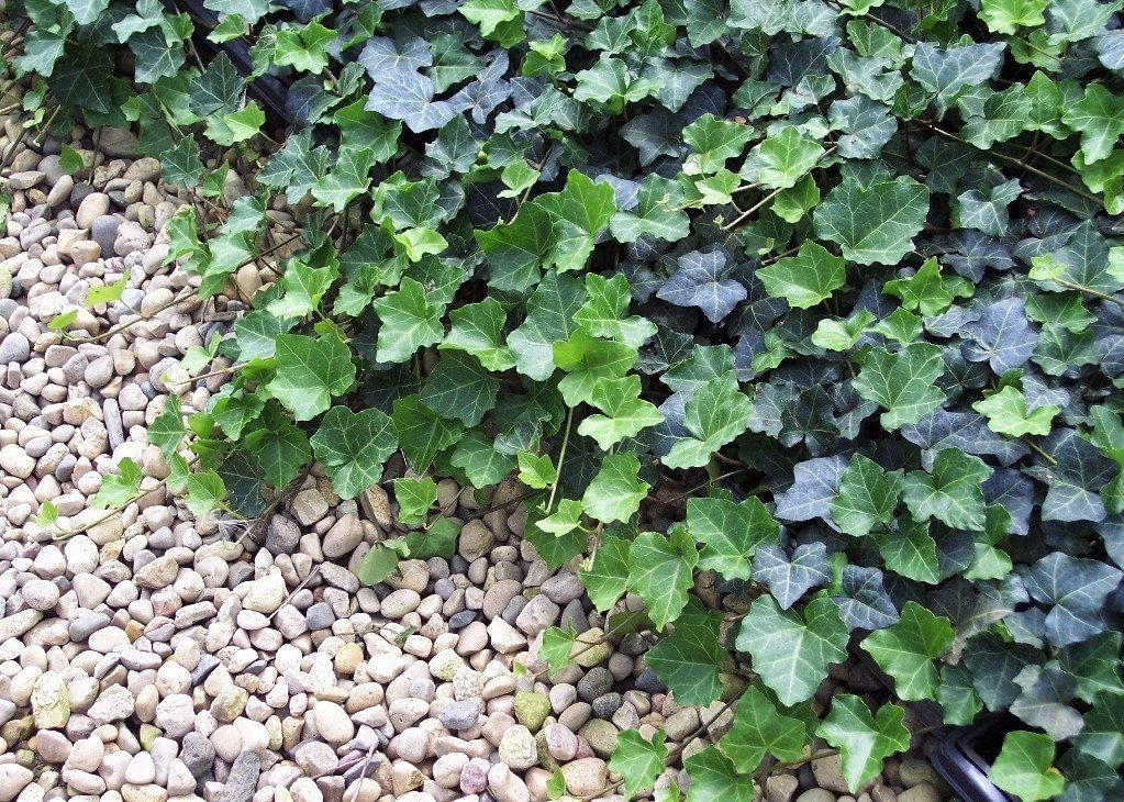 Jmbamboo - Thorndale English Ivy 48 Plants - Hardy Groundcover - 2 1/4'' Pot by JM BAMBOO