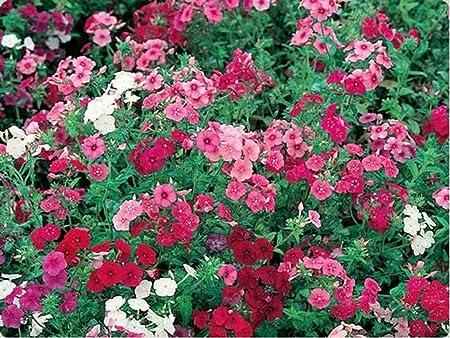 Mix Colors 200 seeds Phlox