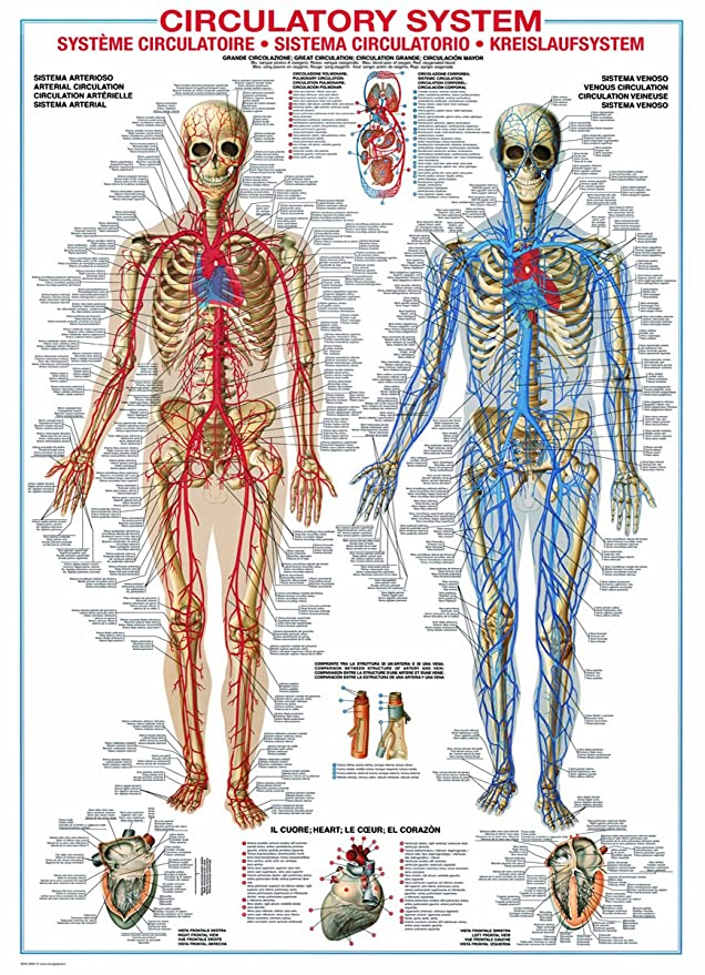 Ziemlich Teile Des Kreislaufsystems Ideen - Anatomie und Physiologie ...