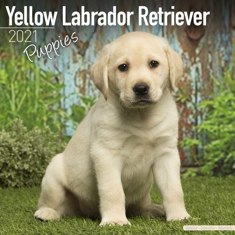 Yellow Labrador Retriever Puppies Weisse Labradorwelpen 2021 Original Avonside Kalender Mehrsprachig Kalender Wall Kalender Avonside Publishing Amazon De Bucher