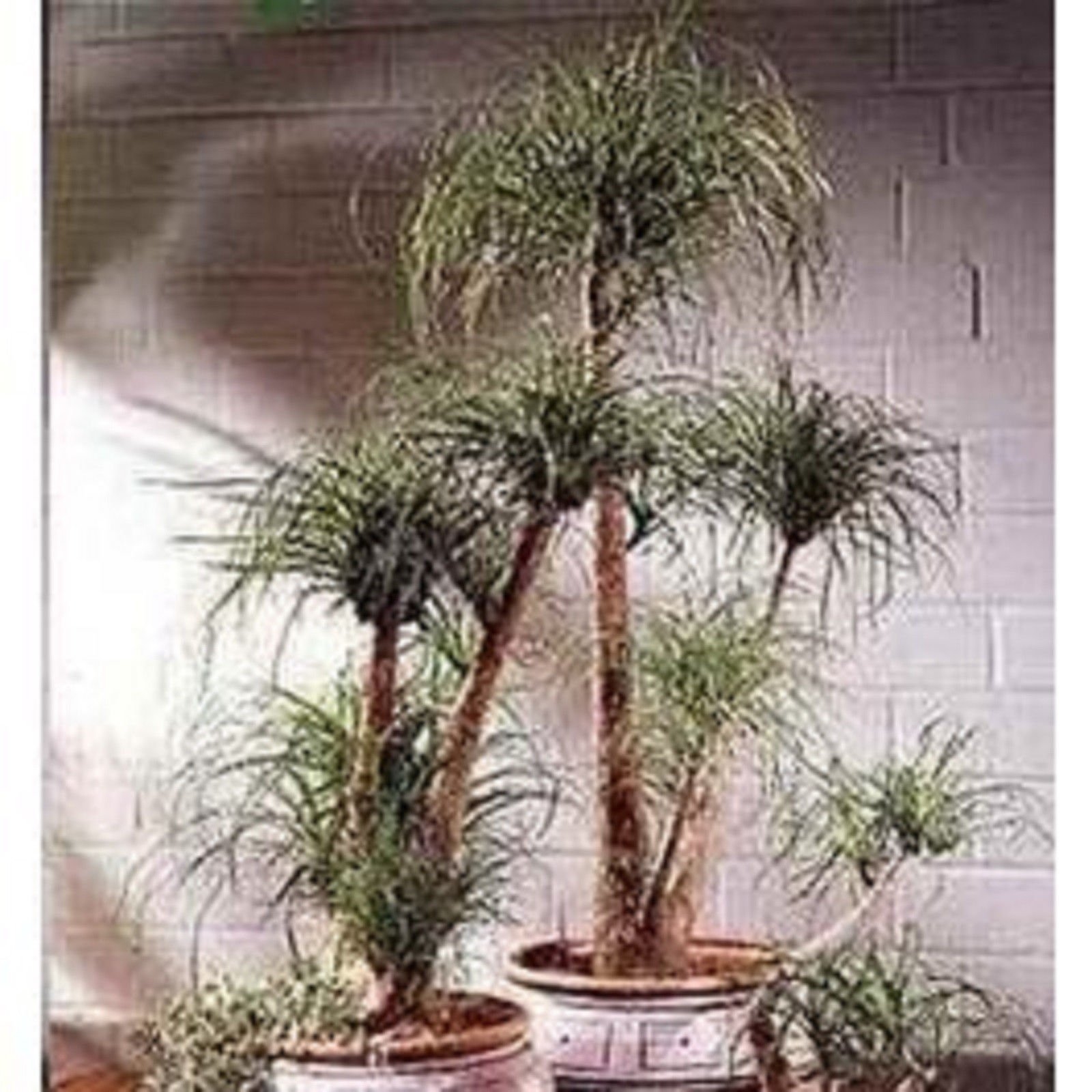 Guatemalan Ponytail Palm Tree 15 Seeds Beaucarnea Guatemalensis Delightful Plant