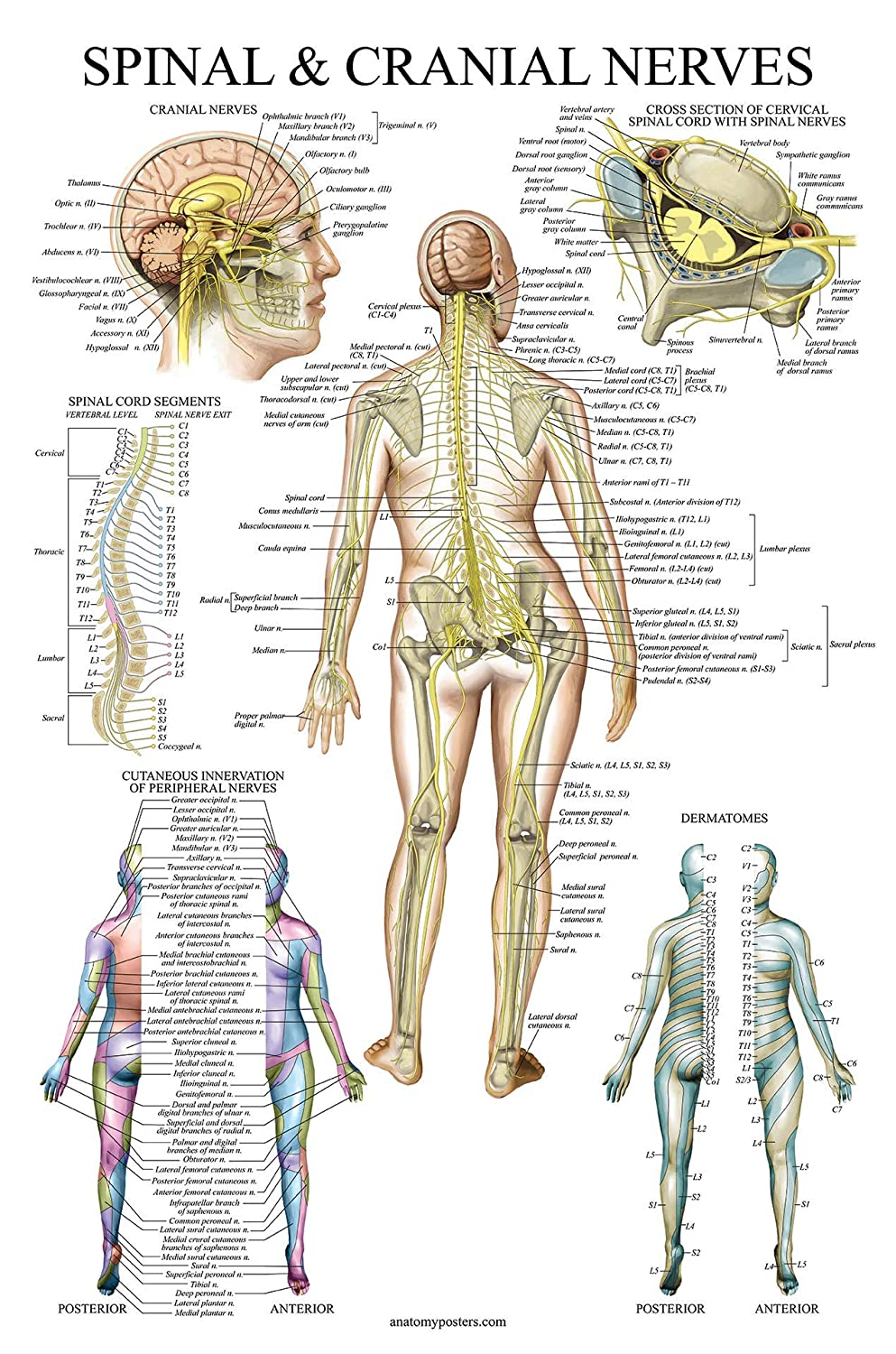Spinal Nerves Anatomical Chart - Spine and Cranial Nervous System Anatomy Poster (with Dermatomes) (Laminated, 18 x 27)