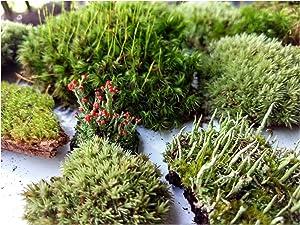 "Tin Roof Treasure Super Fairy Garden Assortment Moss and Lichen with Miniature Fairy Terrarium, 6""x9"" Bag"