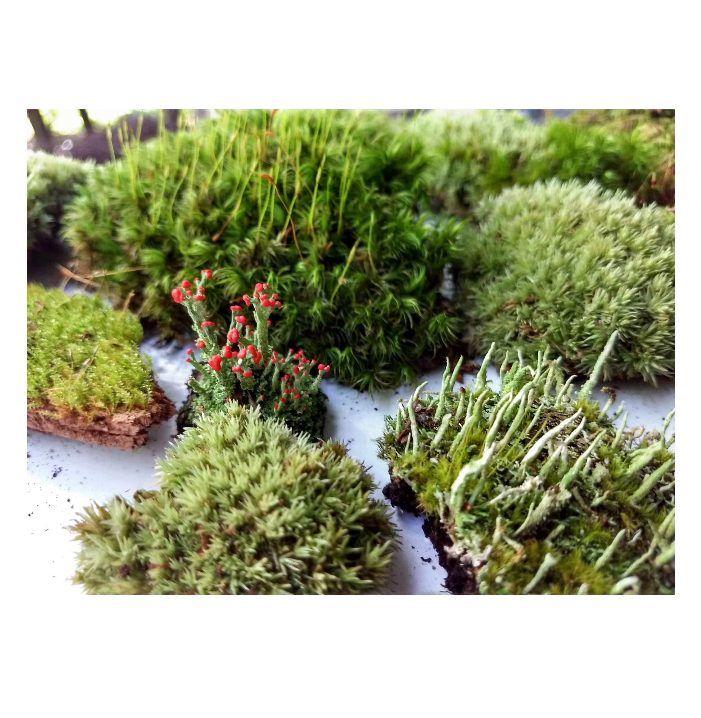 "Tin Roof Treasure Super Fairy Garden Assortment Moss and Lichen for Terrarium, 6""x9"" Bag"