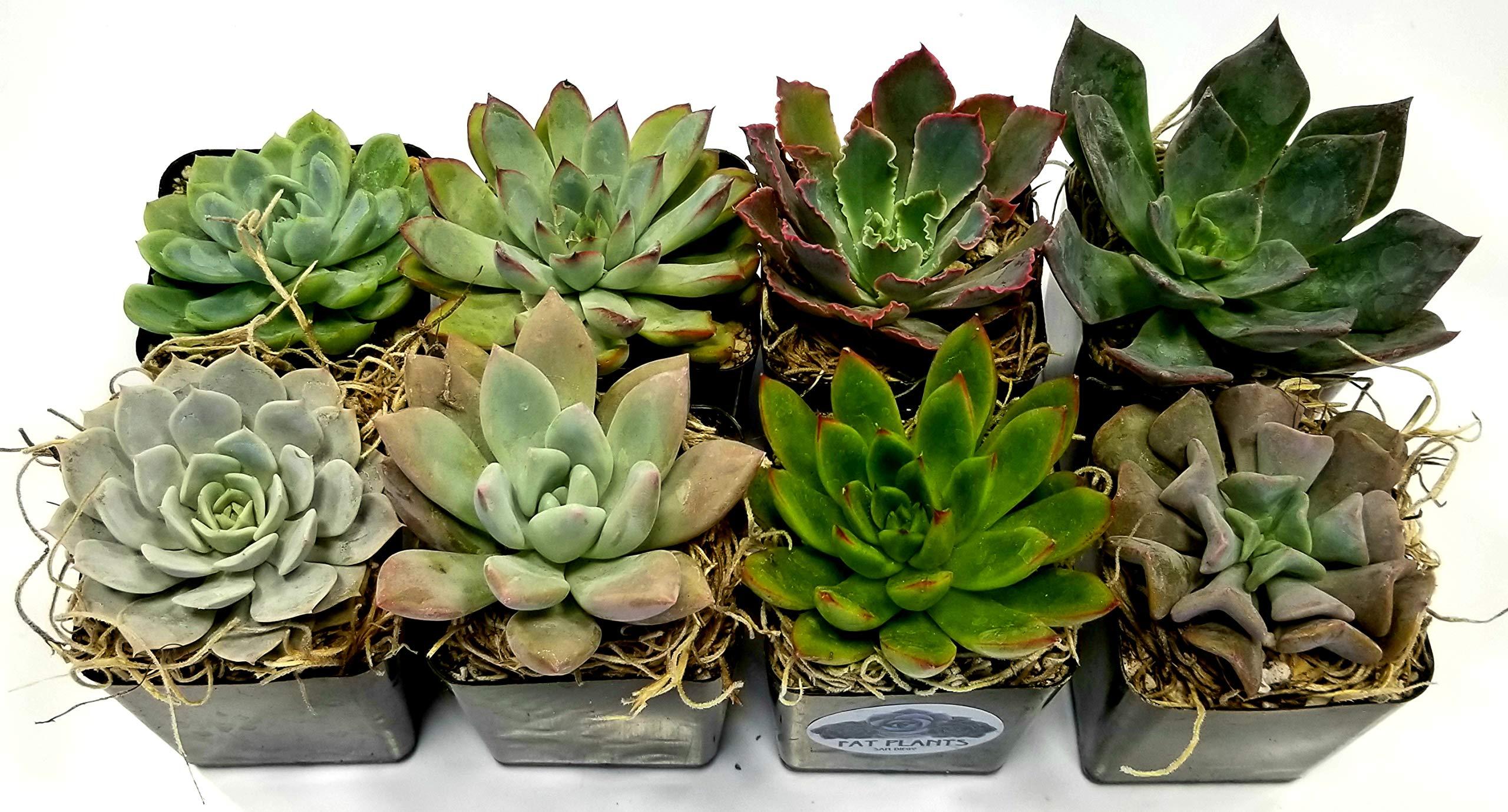 Fat Plants San Diego 2.5 Inch Wedding Rosette Succulent Plants (4) by Fat Plants San Diego (Image #2)