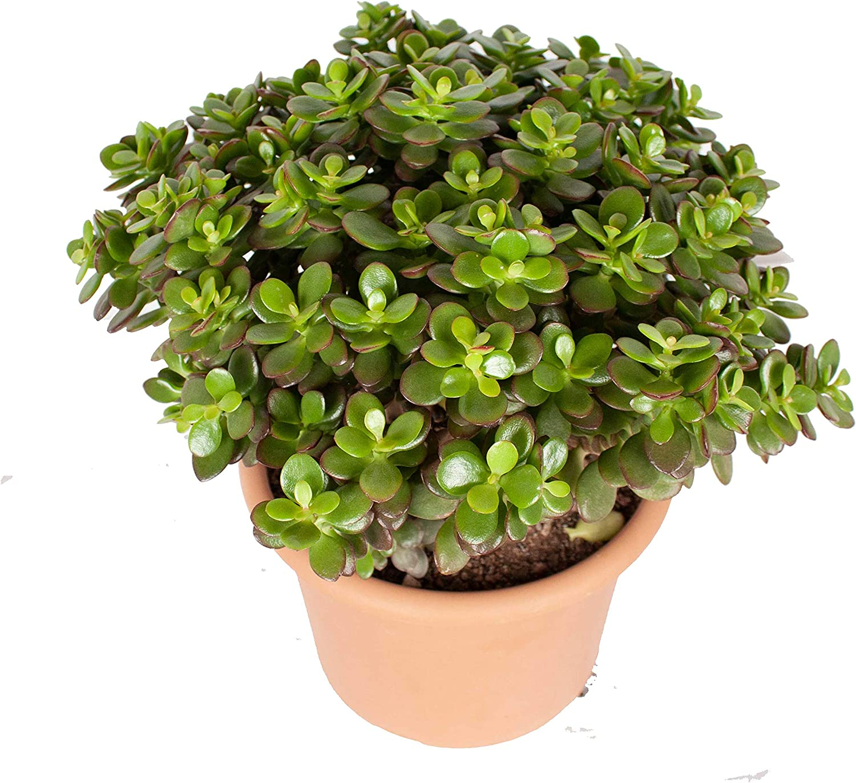 Crassula Minor Canarias /Árbol de Jade Altura: 40 cm Planta de interior de Botanicly