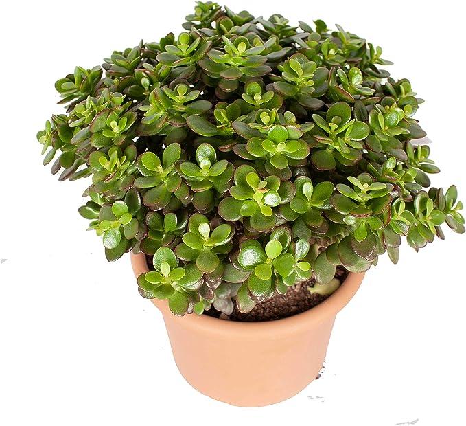 MELIA AZEDARACH /'Jade Snowflake/' en pot RARE Arbre Plante en 9 cm pot