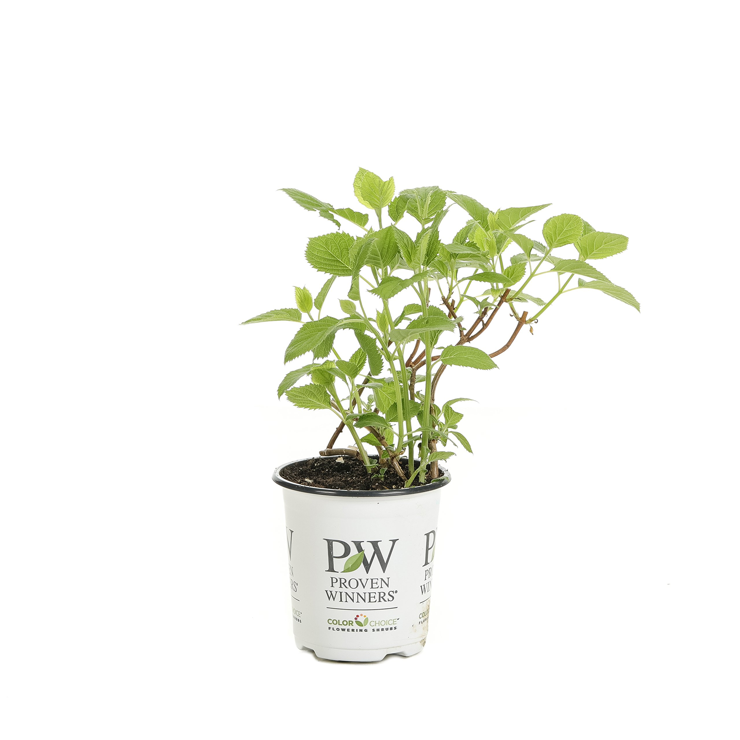 Invincibelle Wee White Smooth Hydrangea, Live Shrub, White Flowers, 4.5 in. Quart