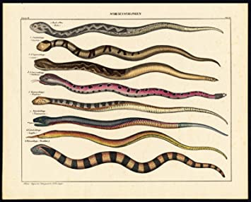 Theprintscollector Antique Print Copperhead Rattle Snake Pit Viper