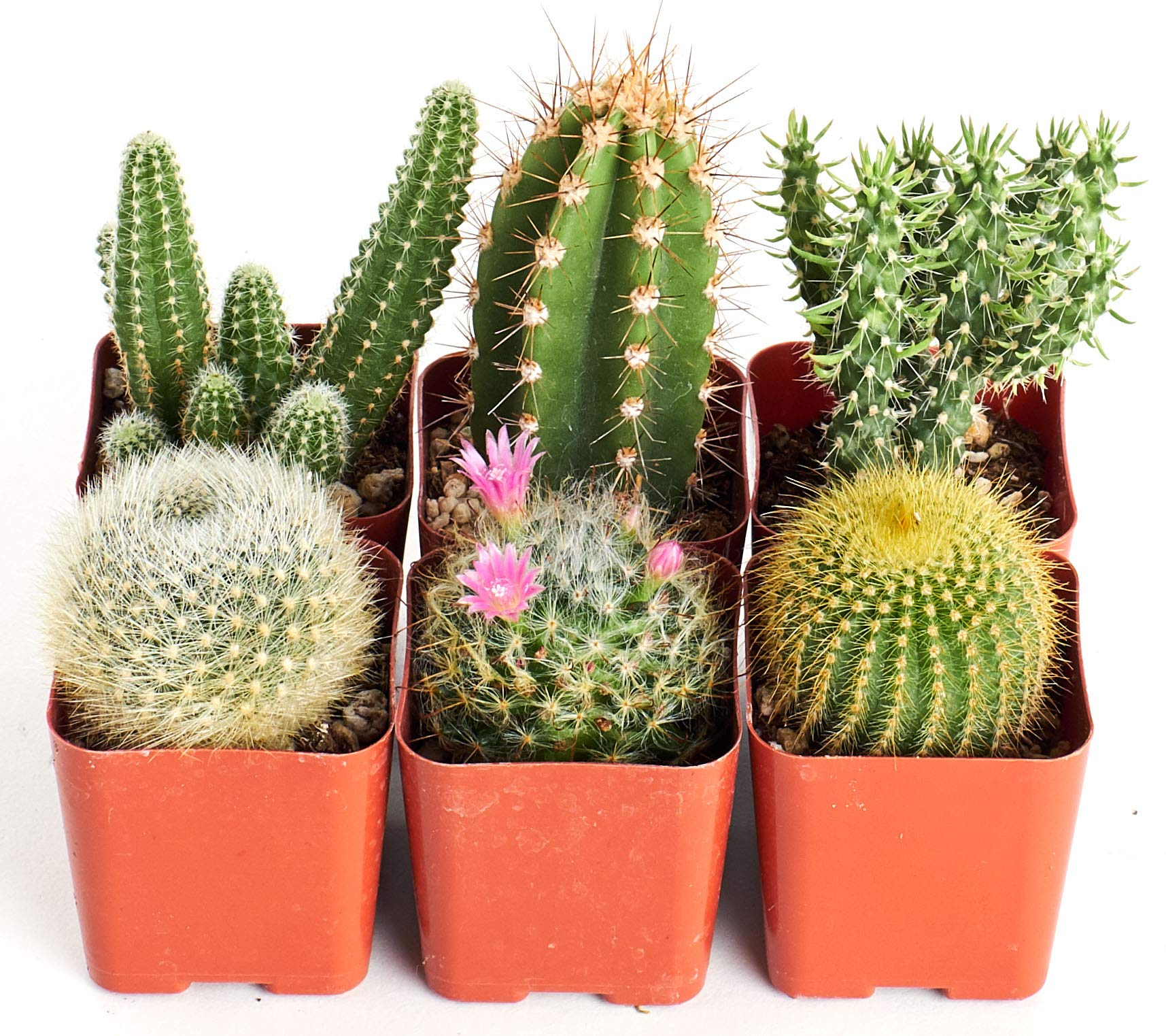 Shop Succulents Can't Touch This 2'' Cactus Pack, Pack of 6