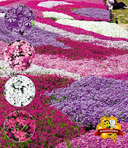 100pcs Scented Carpet Phlox Seeds Ground Cover Creeping Thyme ...