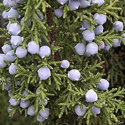 BSNKRY Utah Juniper Juniperus Osteosperma 10 Seeds : Garden & Outdoor