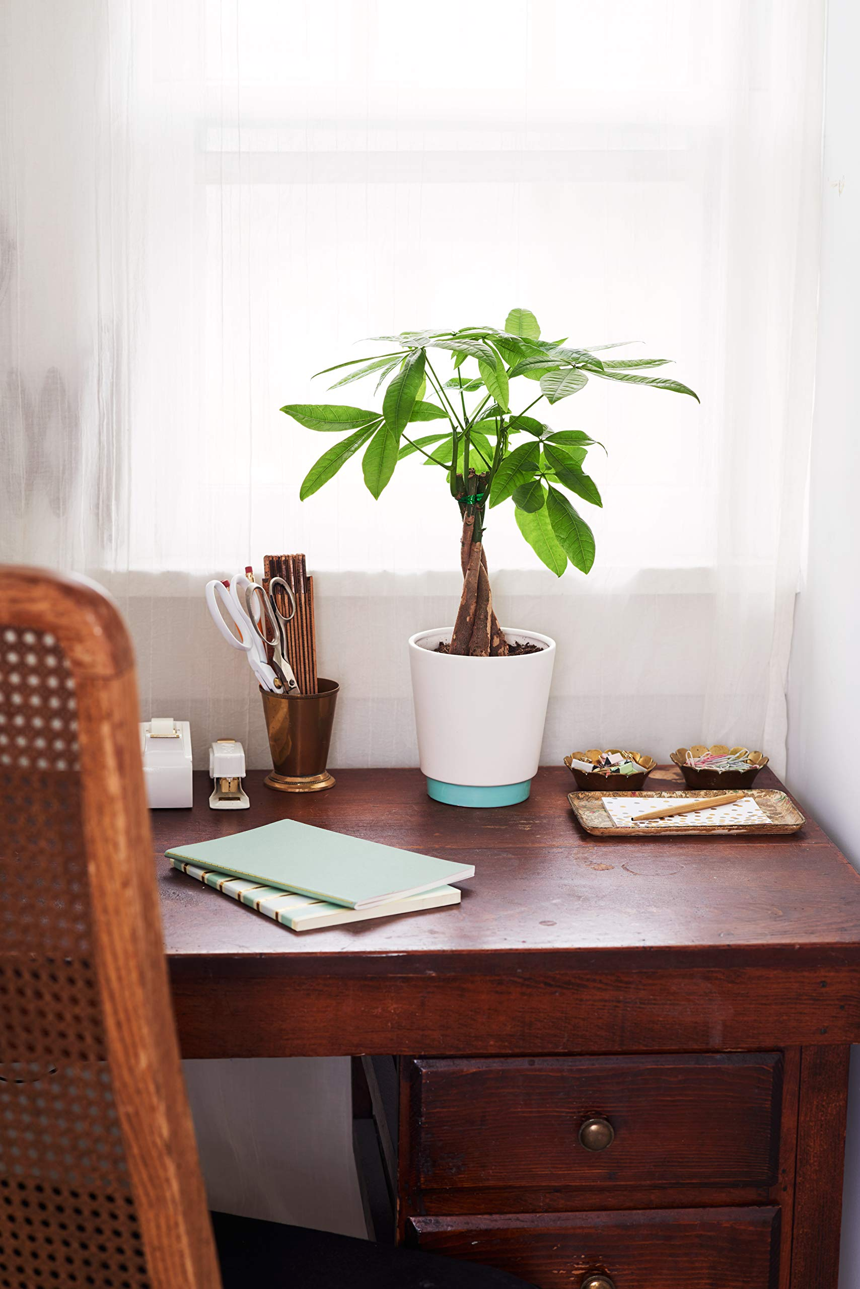 Mother's Day Hallmark Flowers 15'' to 18'' Tall Money Tree in White and Teal Ceramic Container by Hallmark Flowers (Image #2)
