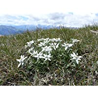 Asklepios-seeds® - 100 Semillas de Leontopodium alpinum Edelweiss, flor de las nieves