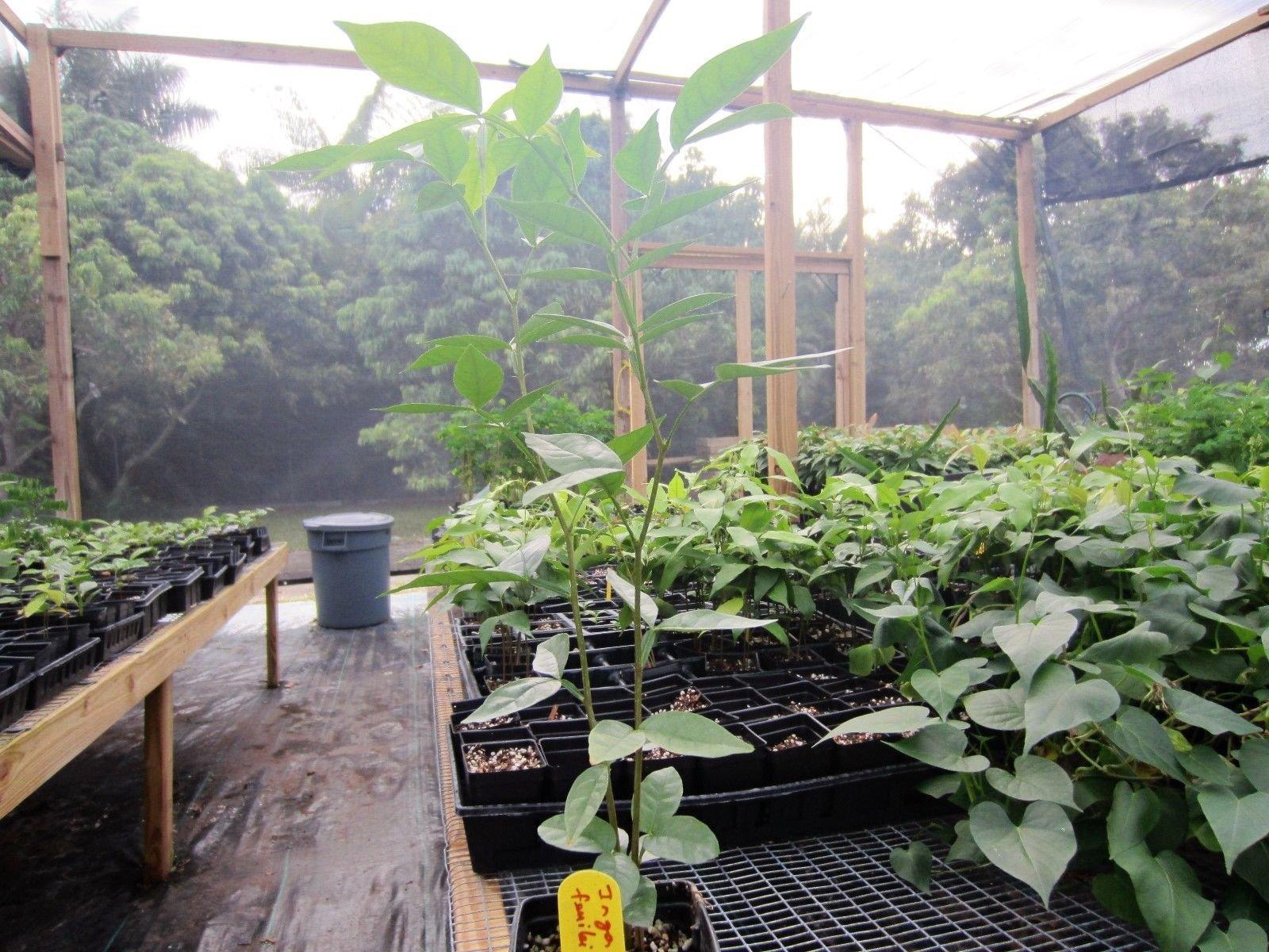 30 - 36'' Inga Feuillei FL Ice Cream Bean Tropical Fruit Tree Plant Pacay