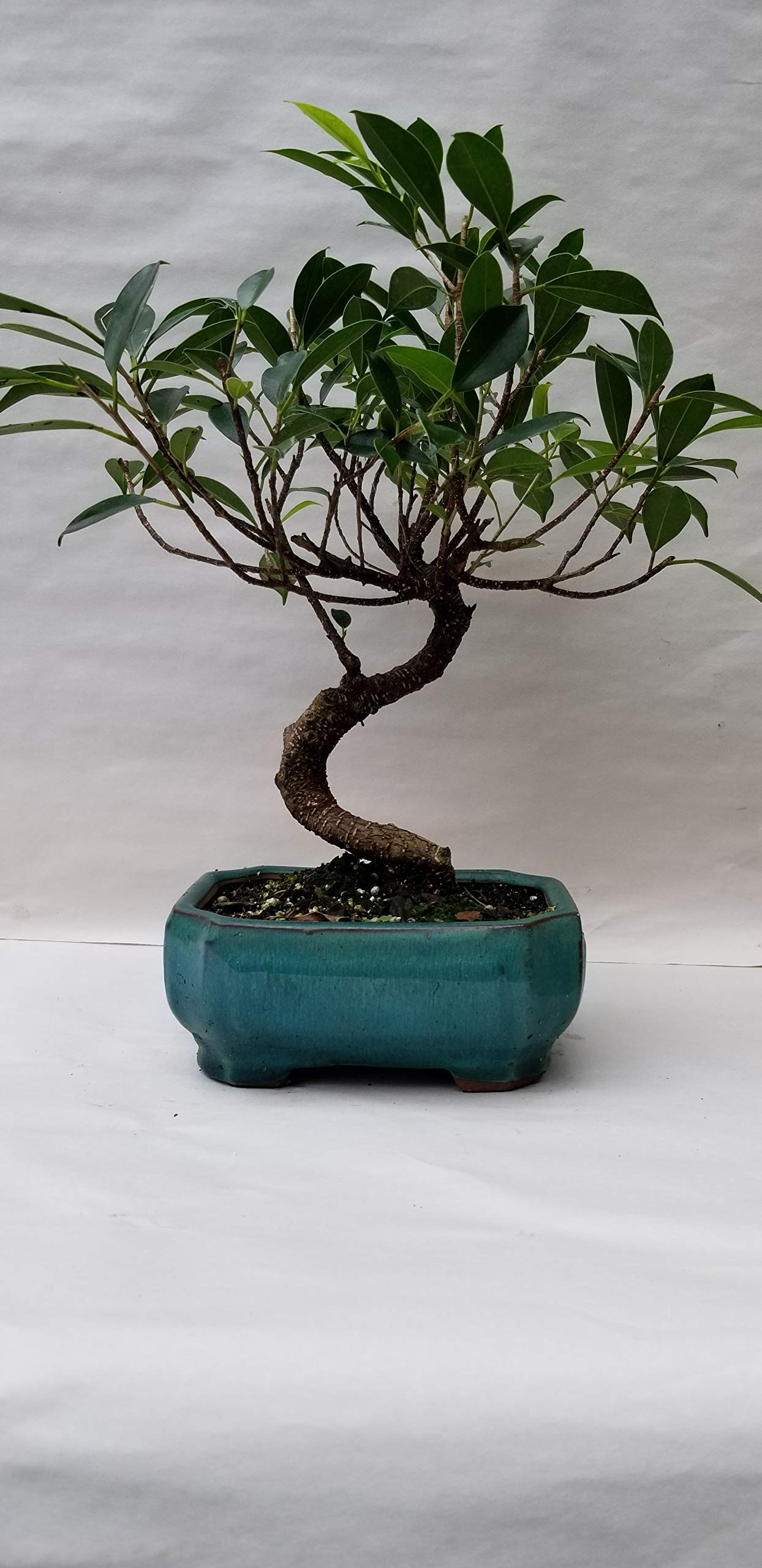(Finished Bonsai), Bonsai-Banyan Fig (Ficus Retusa) Tree, One of the Most Tolerant, Versatile and Trouble-free Bonsai Trees for Indoor Use. Choice of color of ceramic pot Cream, Aqua & Black pictured