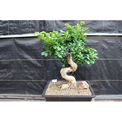 63 Year Old Fruiting Green Emerald Ficus Specimen Bonsai Tree: Garden & Outdoor
