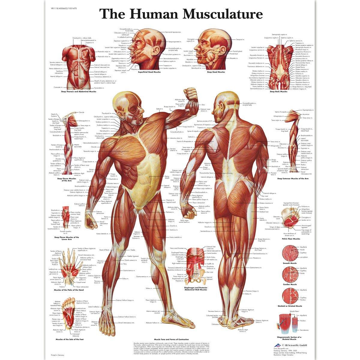 trabajo sobre los musculos del cuerpo humano