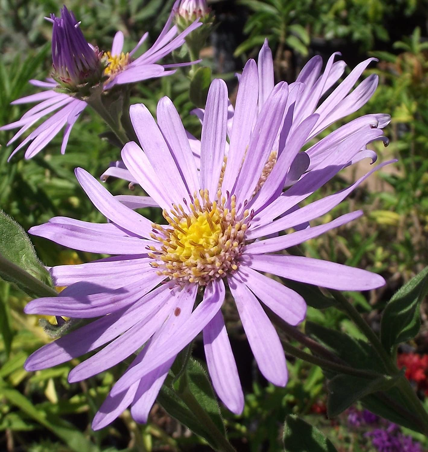 Aster x frikartii 'Mönch': garden tested, hardy perennial plant supplied in a half litre pot Ballyrobert Gardens