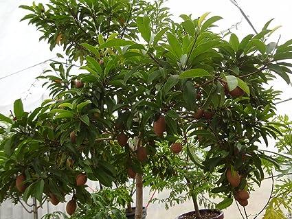 Sapodilla fruit tree