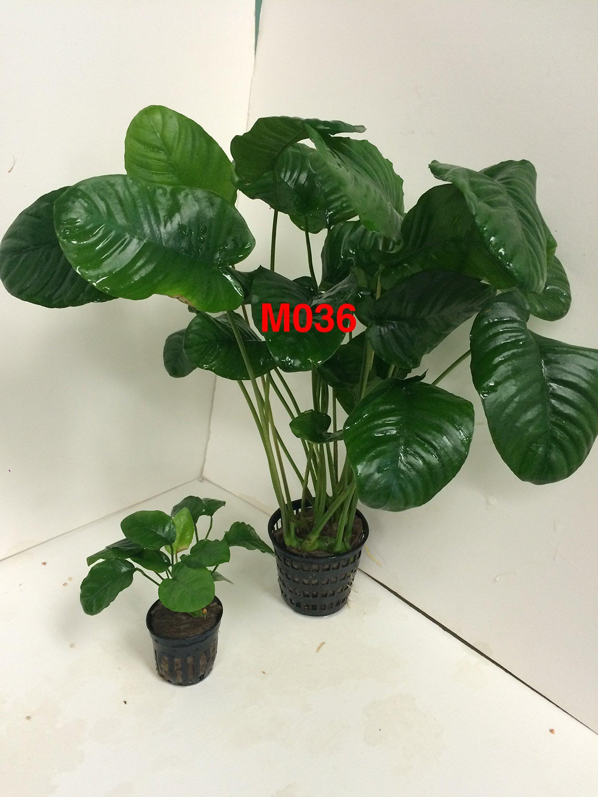 Anubias barteri 'wrinkle leave' Mother Pot Plant M036 Live Aquatic Plant by Jayco (Image #1)