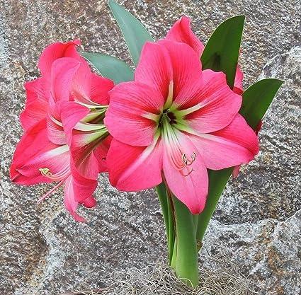 Amazon Amaryllis Bulb Pink Amaryllis Pink Flush 2628cm Bulb