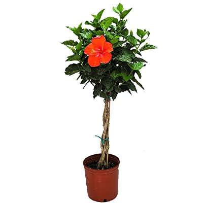 """Braided Hibiscus Tree Live - Red President - 3 Gallon Pot - Overall Height 44"""" to 48"""" - Tropical Plants of Florida : Garden & Outdoor"""