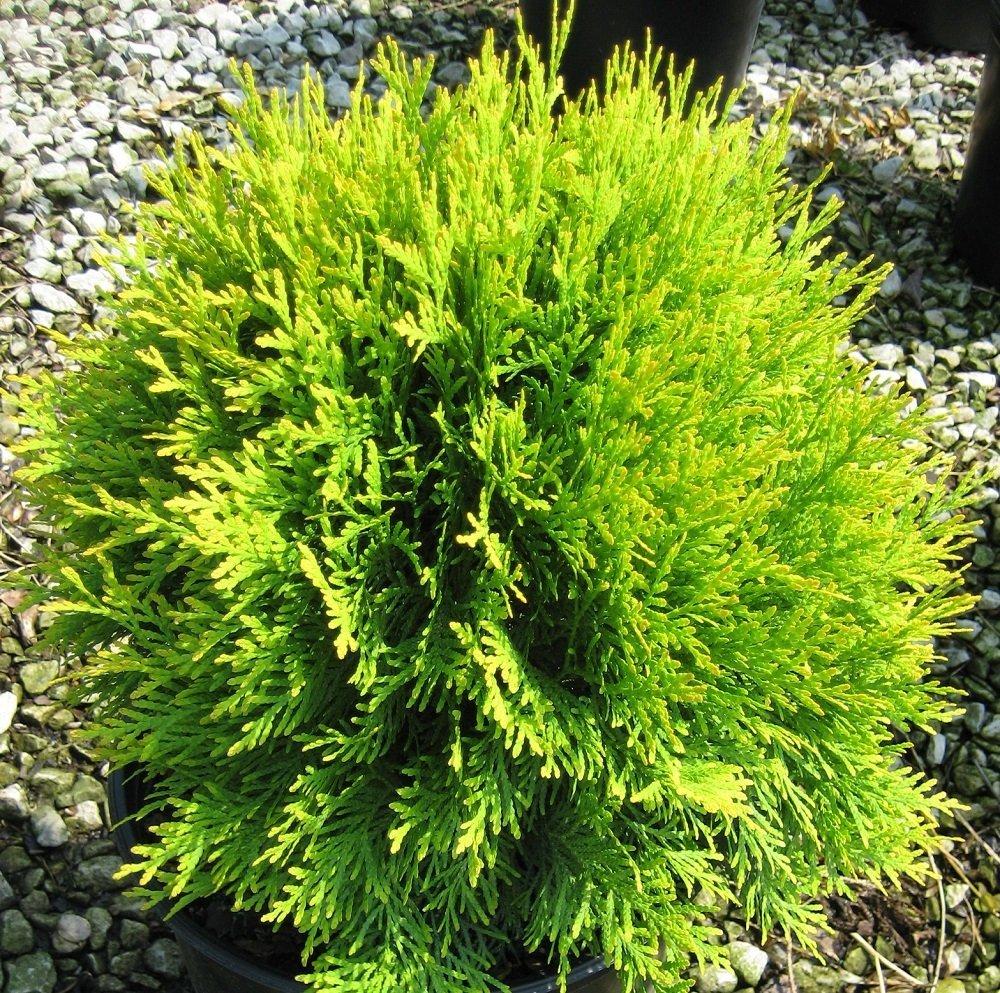 Golden Globe Arborvitae – 4 Pot – Thuja