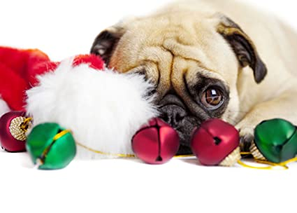 Pug Christmas Cards.Watching For Santa Pug Christmas Cards Amazon In Office Products