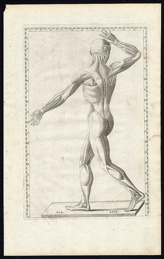 2 ThePrintsCollector son-anatomía-músculos-posterior-Macho-PL 31 ...