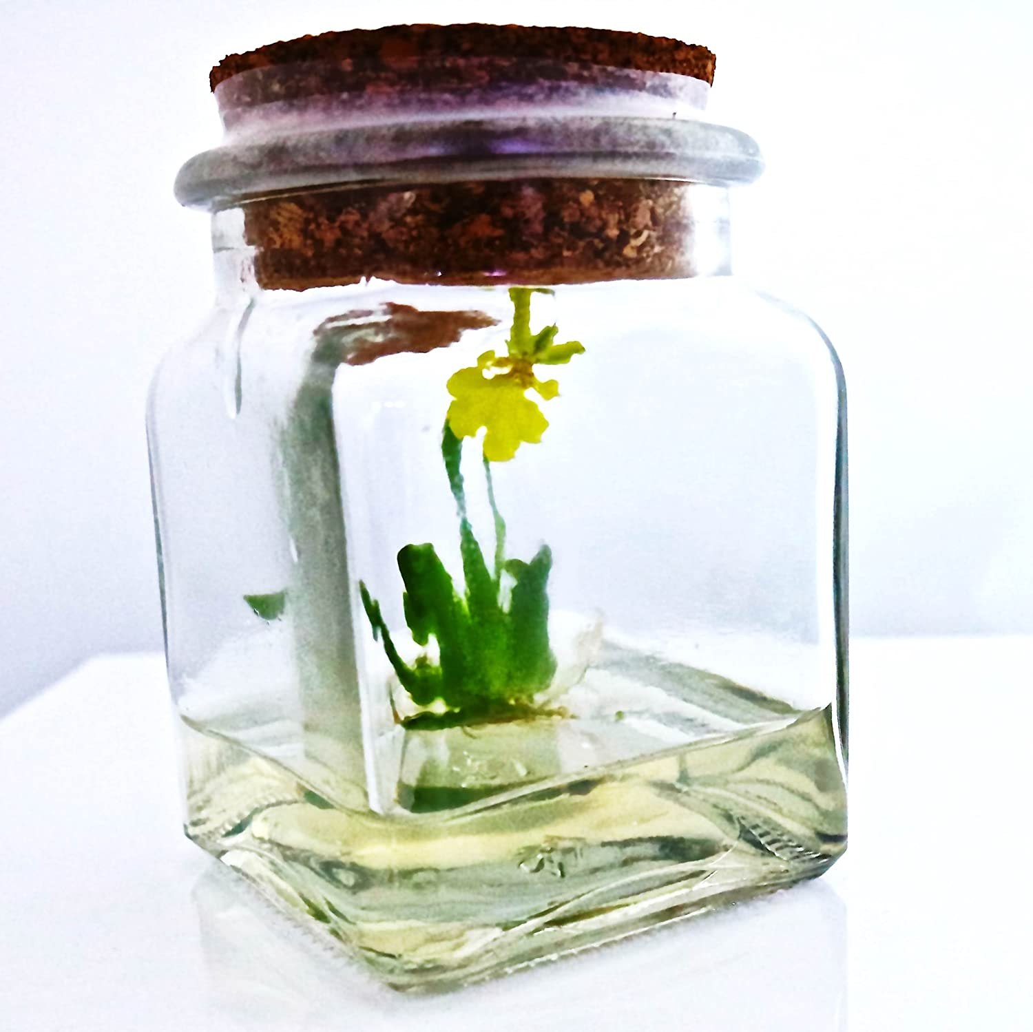 Amazon : Award Winning, Maintenance Free Orchid Terrarium  Psygmorchis  Pusilla  Miniature, No Green Thumb Necessary, Great For Work, Home,