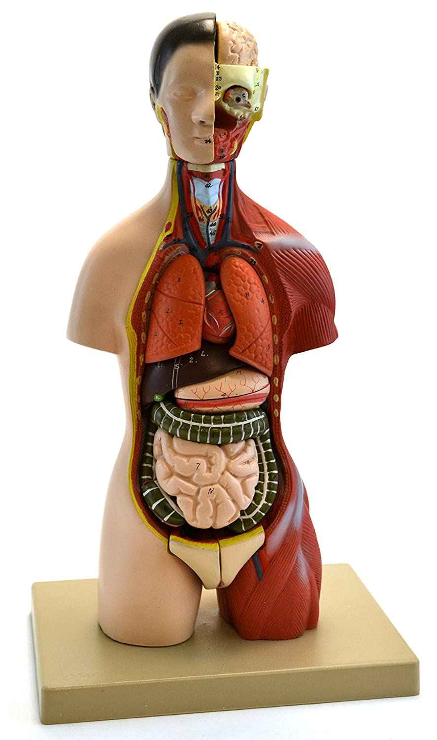 Eisco Labs Adult Torso Anatomical Model With Head 16 Parts Half
