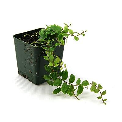 Marcgravia sp. 'Shingle Plant' : Garden & Outdoor