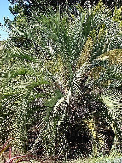ScoutSeed BUTIA YATAY 4 Semillas Hermosa palmera ornamental.: Amazon.es: Jardín