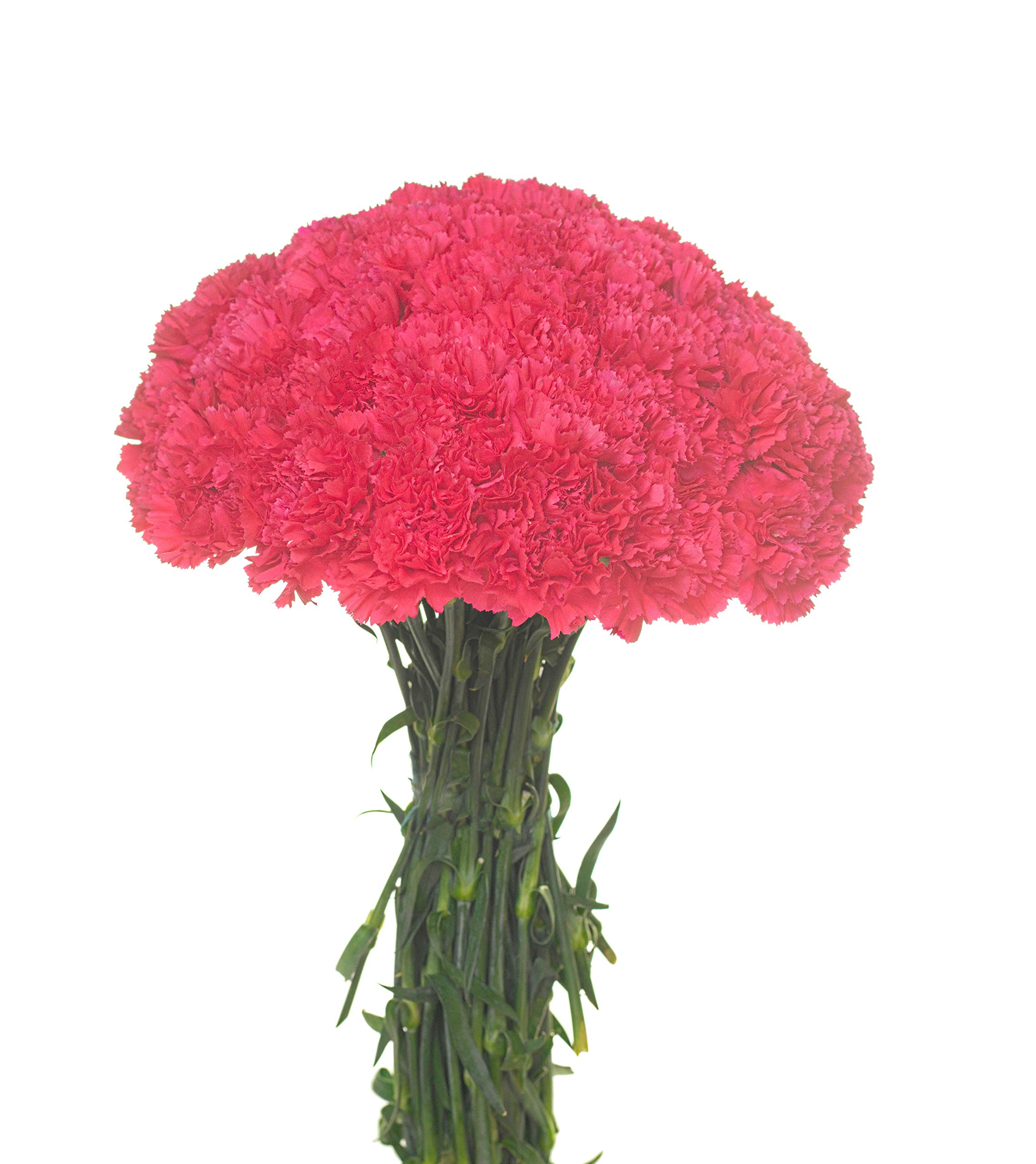 Carnations Multiple Colors and Quantities (50, HOT Pink)