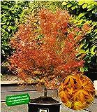 BALDUR-Garten Japanischer Ahorn 'Katsura', 1 Pflanze Acer palmatum Ahornbaum winterhart