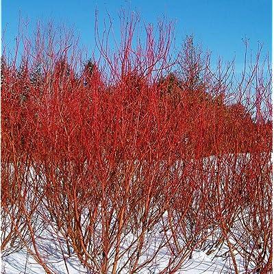 "AchmadAnam - 4"" Pot - Baileyi Red Twig Dogwood - Cornus stolonifera, Plant, Tree, Bulb : Garden & Outdoor"