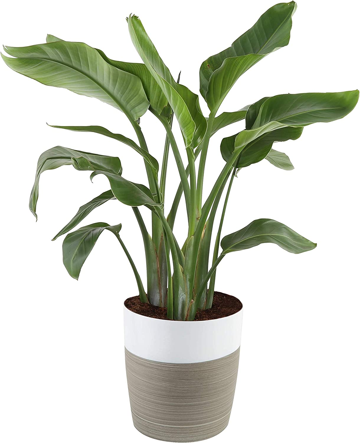 Costa Farms White Bird of Paradise Strelitzia nicolai, Indoor Plant in Décor Planter, 3 to 4-Feet Tall, Fresh from Our Farm
