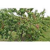 """Dominik Blumen und Pflanzen, Pfirsichbaum""""Roter Weinbergpfirsich"""", Busch, 1 Pflanze, je 1 Pflanze, 60-80 cm hoch, 5-7 Liter Topf, plus 1 Paar Handschuhe gratis"""
