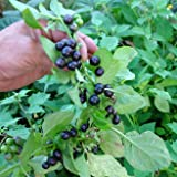 Garden Huckleberry Seeds (Solanum melanocerasum) 50+ Organic Heirloom Seeds in FROZEN SEED CAPSULES for the Gardener & Rare Seeds Collector - Plant Seeds Now or Save Seeds for Years