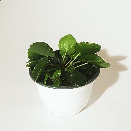 Amazon.com: Pilea peperomioides – 6