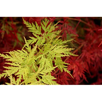 Seiryu Japanese Maple 1 - Year Live Plant : Tree Plants : Garden & Outdoor