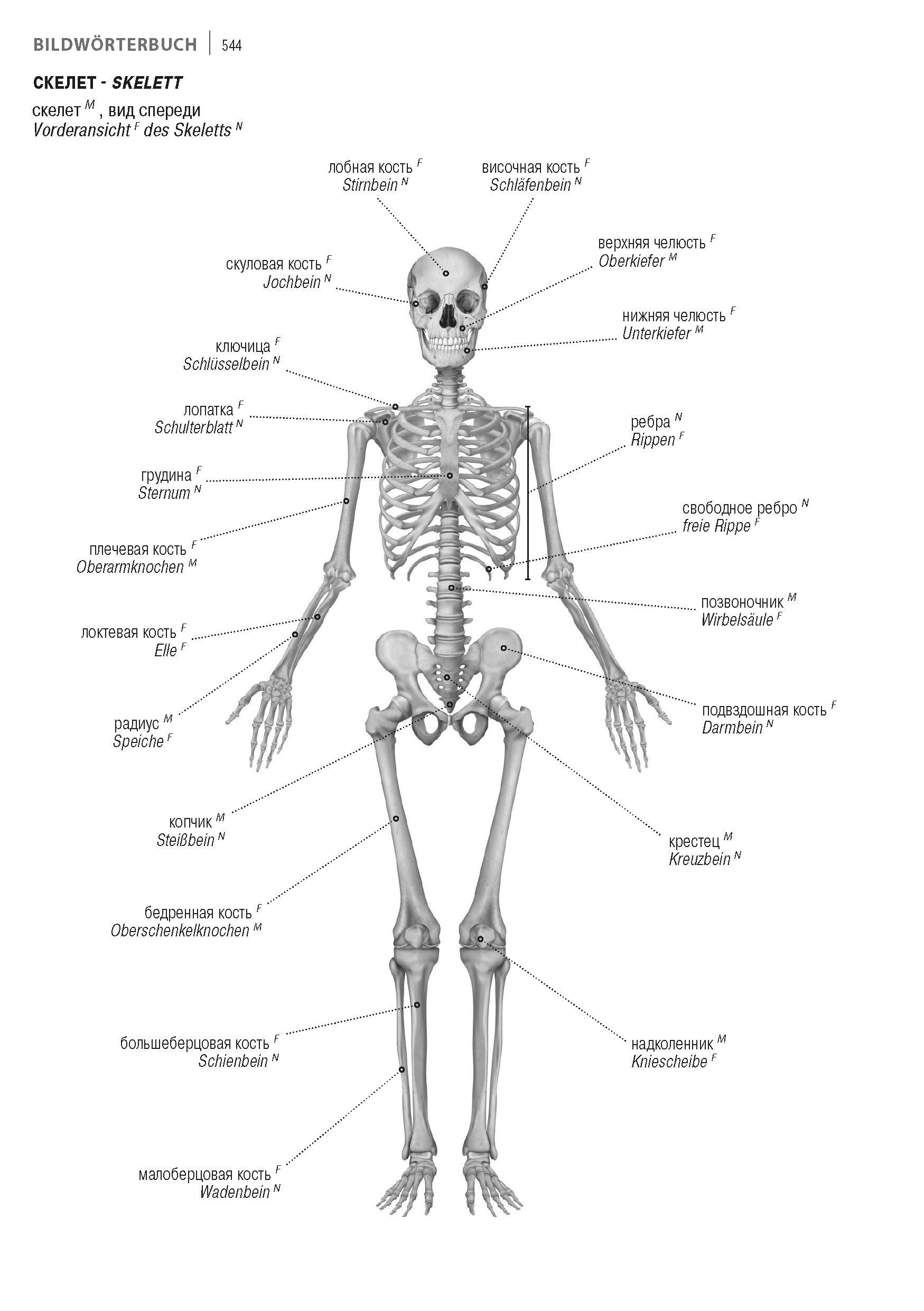 Wunderbar Chirurgische Anatomie Des Schläfenbeins Ideen ...