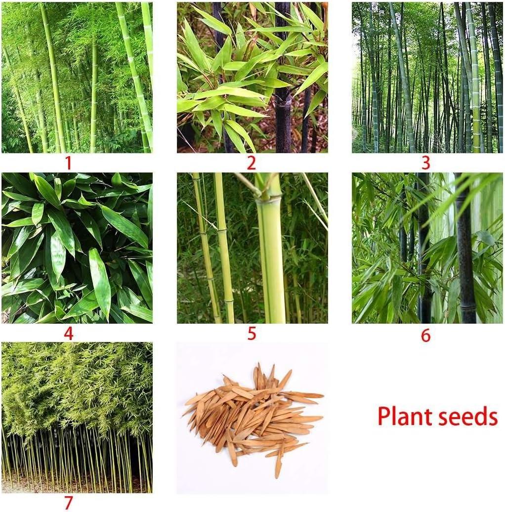 Ncient Paquete de Semillas de Bambú Phyllostachys Negro Morado ...