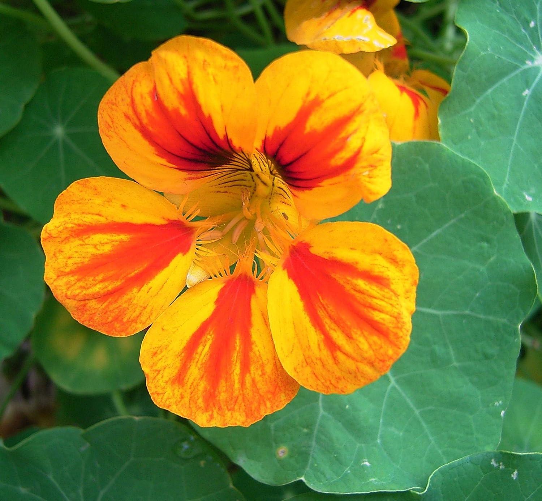 Asklepios-seeds® - 250 Semillas Tropaeolum majus capuchina, taco de reina, espuela de galán, flor de la sangre, llagas de Cristo, marañuela, mastuerzo de Indias