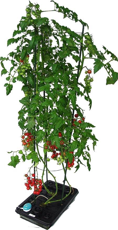 ミニ トマト 水 耕 栽培